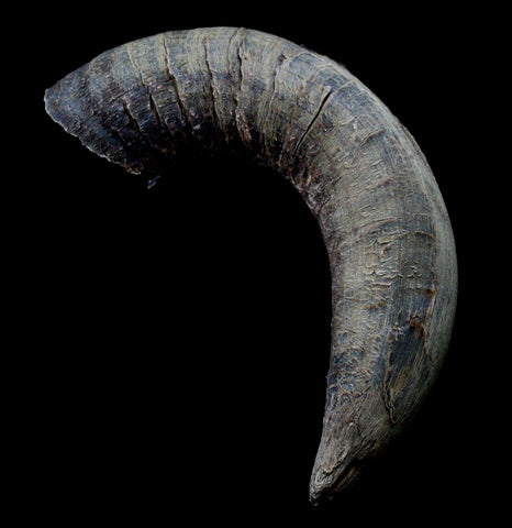 Bison Horn Cap - PaxtonGate