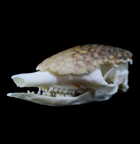 Armadillo skull with skull plates - PaxtonGate