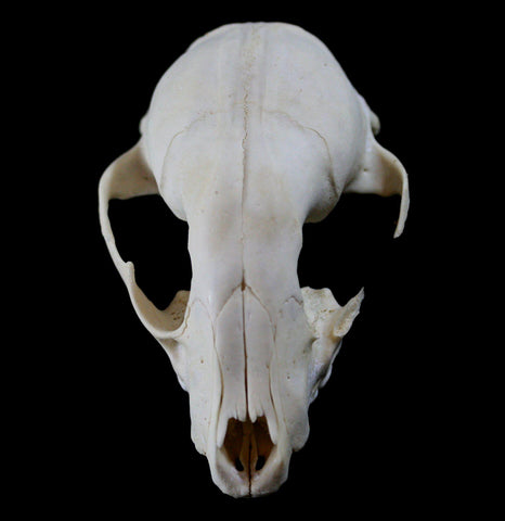 Raccoon Crafting Skull-Skulls-White Fox Fur & Feather-PaxtonGate