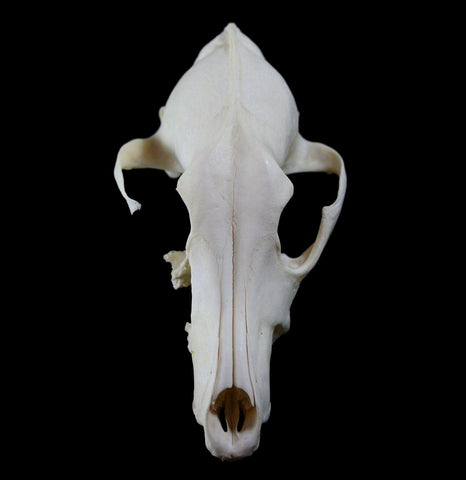 Coyote Crafting Skull-Skulls-White Fox Fur & Feather-PaxtonGate