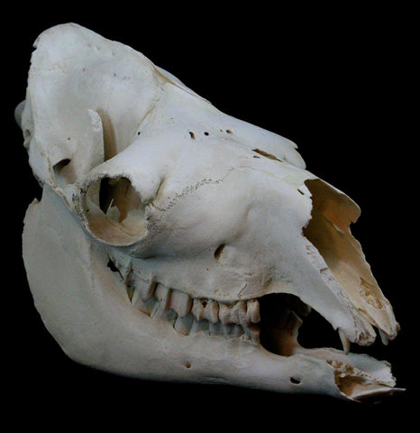 Camel Skull - PaxtonGate