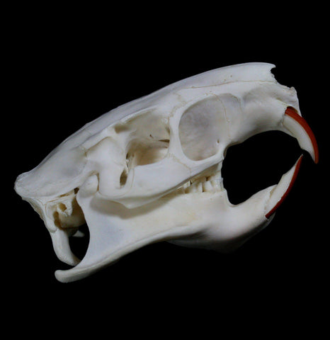 Nutria Skull - PaxtonGate