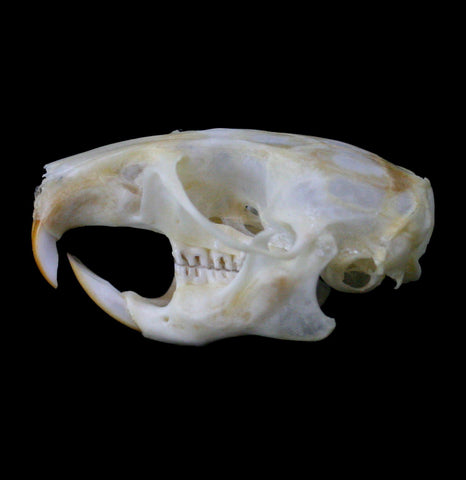 Packrat Skull - PaxtonGate