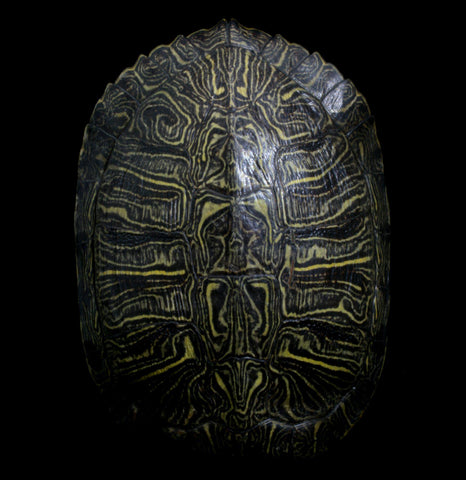 Red Eared Slider Turtle Shell-BonesMisc-Atlantic Coral Enterprise-PaxtonGate
