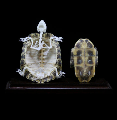 Turtle Skeleton Display-Skeletons-C & A Scientific Co., Inc-PaxtonGate