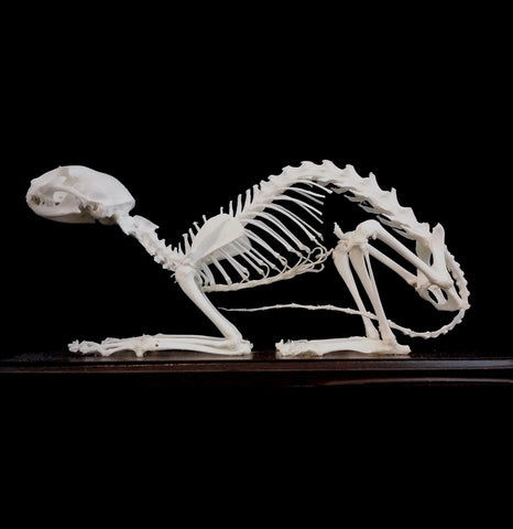 Articulated Cat Skeleton - PaxtonGate