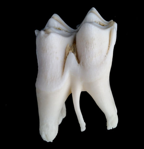 Single Large Cheek Tooth - PaxtonGate
