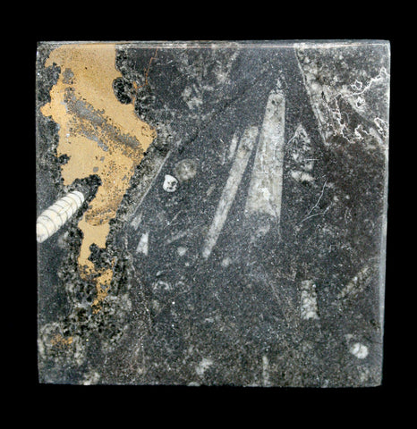 Orthoceras Fossil Coaster Square-Kitchen-Hmani, Inc.-PaxtonGate