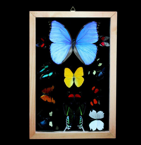 Double Glass Framed Large Butterfly Collection-Insects-Butterflies By God-PaxtonGate
