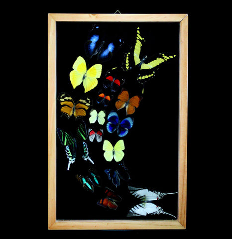 Double Glass Framed Sweeping Butterfly Collection-Insects-Butterflies By God-PaxtonGate