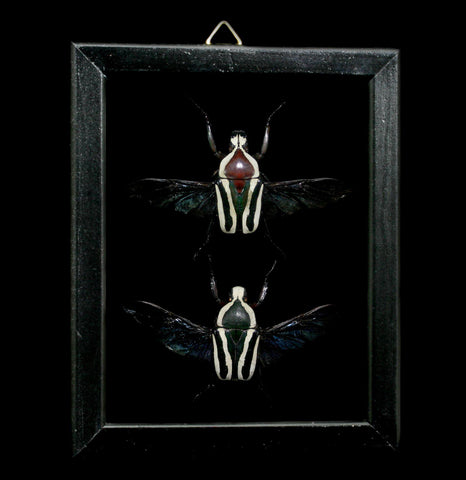 Double Glass Framed Mecynorrhina Oberthuri Beetle Pair-Insects-Al & Judy Scramstad-PaxtonGate