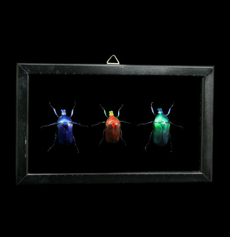 Three Double glass framed Torynorrhina Flamea Beetles - PaxtonGate