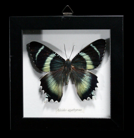 Framed Shadowbox Alcides Agathyrus Moth - PaxtonGate