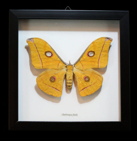 Framed Antheraea Frithi Moth in Shadowbox Frame - PaxtonGate