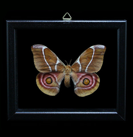 Double glass framed Antherina Suraka Silk Moth - PaxtonGate