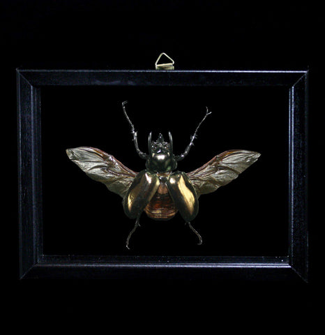 Double Glass Framed Chalcosoma Atlas Beetle-Insects-Al & Judy Scramstad-PaxtonGate