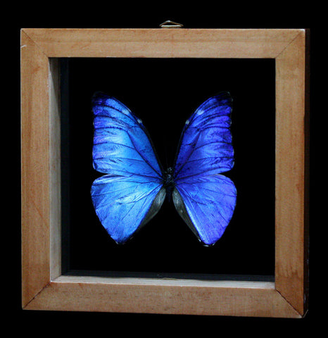 Double glass framed Morpho Marcus Butterfly - PaxtonGate