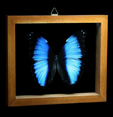 Double glass framed Morpho Deidamia Butterfly - PaxtonGate