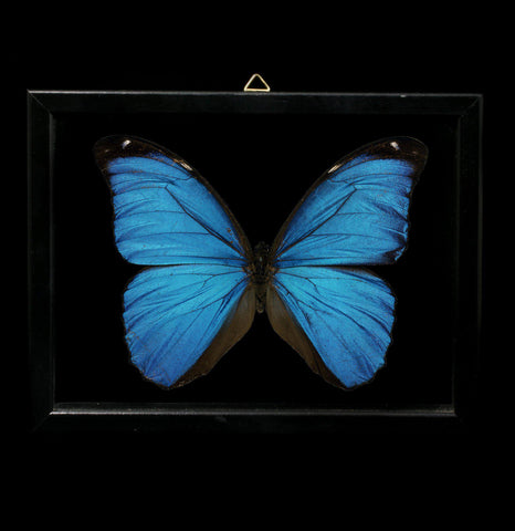 Double glass framed Giant Blue Morpho didius Butterfly - PaxtonGate