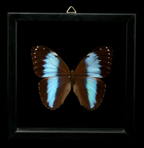 Double Glass Frame Morpho Achilles Butterfly - PaxtonGate