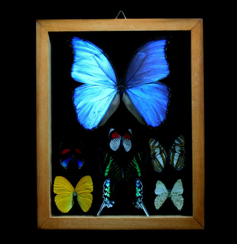 Double glass Framed Butterfly Collection - PaxtonGate