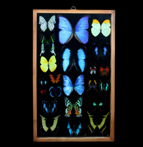 Double glass framed Extra Large Butterfly Collection - PaxtonGate
