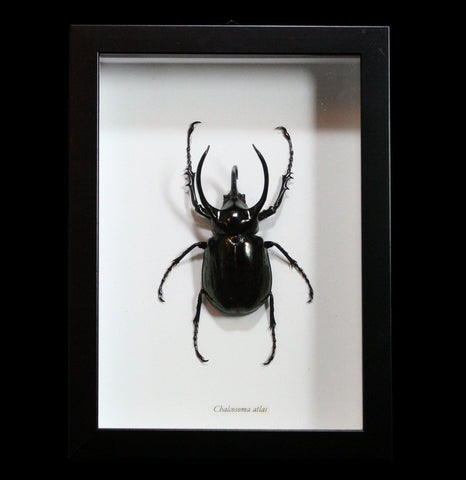 Framed Chalcosoma Atlas Beetle-Insects-Butterflies By God-PaxtonGate