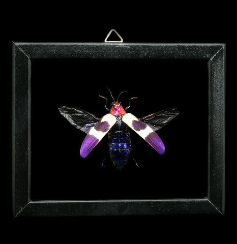 Double glass framed Chrysochroa Buqueti Jeweled Beetle - PaxtonGate
