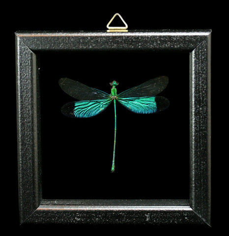 Double glass Framed Neurobasis Chinensis Dragonfly - PaxtonGate