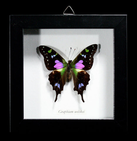 Framed shadowbox Graphium weiskei Butterfly - PaxtonGate