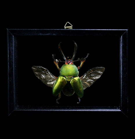 Double Glass Framed Lamprima Adolphinae Beetle-Insects-Al & Judy Scramstad-PaxtonGate