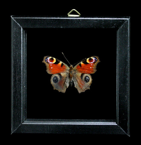 Double Glass Framed Inachis Io Butterfly-Insects-Al & Judy Scramstad-PaxtonGate