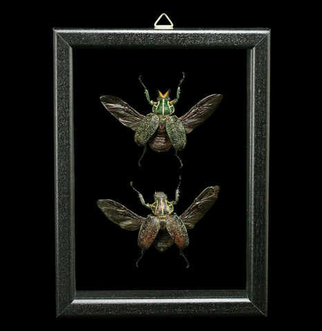 Double Glass Framed Inca Clathrate Beetle Pair - PaxtonGate