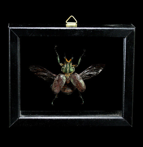 Double Glass Framed Inca Clathrata Beetle-Insects-Al & Judy Scramstad-PaxtonGate