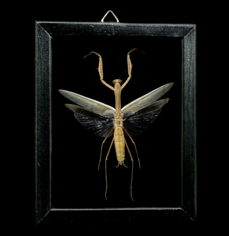 Double Glass Framed Tenodera Aridifolia Mantis-Insects-Al & Judy Scramstad-PaxtonGate