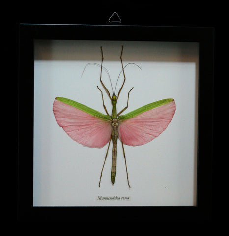 Framed Marmessoidea Rosea Stick Bug in shadowbox frame - PaxtonGate