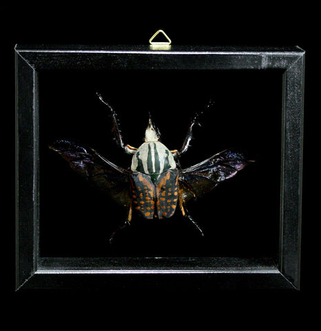 Double Glass Framed Mecynorrhina Oberthuri-Insects-Al & Judy Scramstad-PaxtonGate