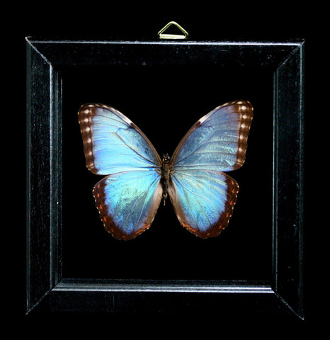 Double Glass Framed Morpho Motezuma Butterfly-Insects-Al & Judy Scramstad-PaxtonGate