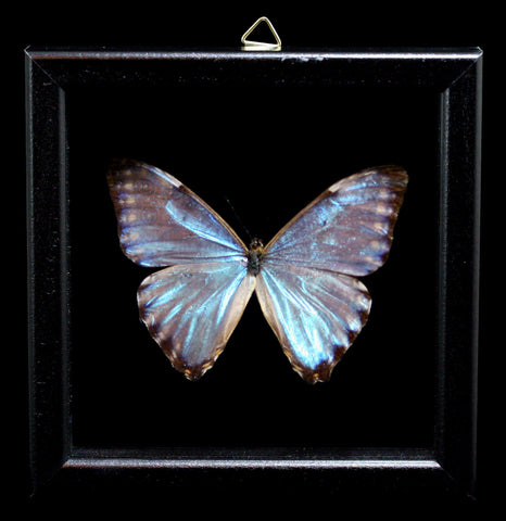 Double Glass Framed Morpho Portis Butterfly-Insects-Al & Judy Scramstad-PaxtonGate