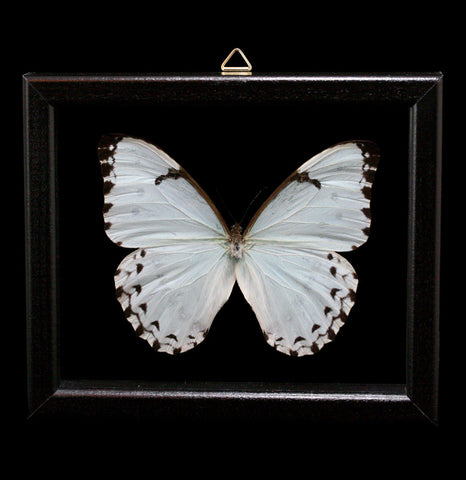 Double glass framed Morpho Catanarius Butterfly - PaxtonGate