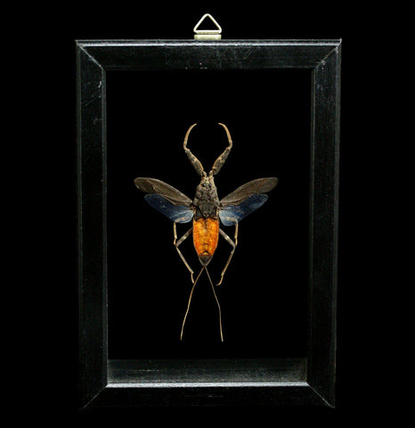 Double Glass Framed Nepa Rubra-Insects-Al & Judy Scramstad-PaxtonGate