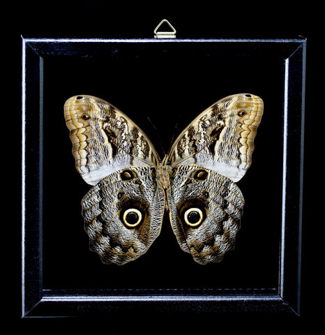 Framed Owl Butterfly - PaxtonGate