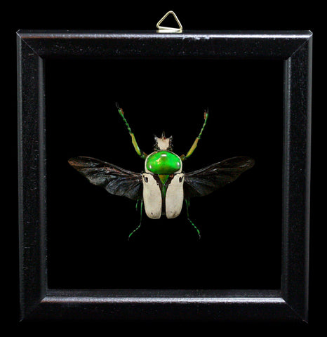 Double Glass Framed Ranzania Bertolonii Beetle - PaxtonGate
