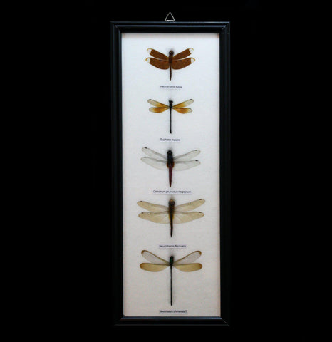 Five Riker Mounted Dragonflies - PaxtonGate