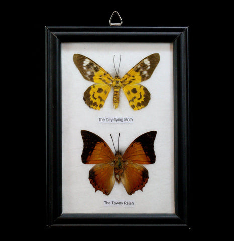 Two Riker Mounted Butterflies - PaxtonGate