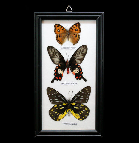 Three Riker Mounted Butterflies - PaxtonGate