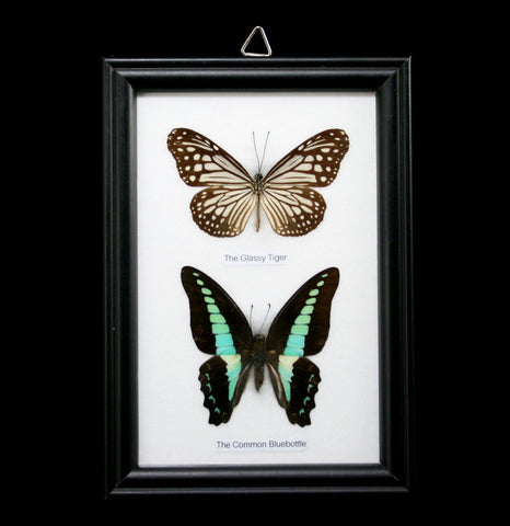 Two Riker Mounted Butterflies-Insects-World Buyers-PaxtonGate