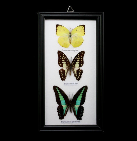 Three Riker Mounted Butterflies-Insects-World Buyers-PaxtonGate
