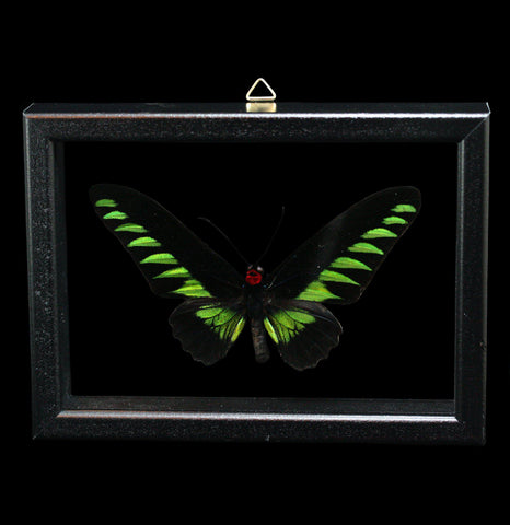 Double glass framed Trogonoptera Brookiana Butterfly - PaxtonGate