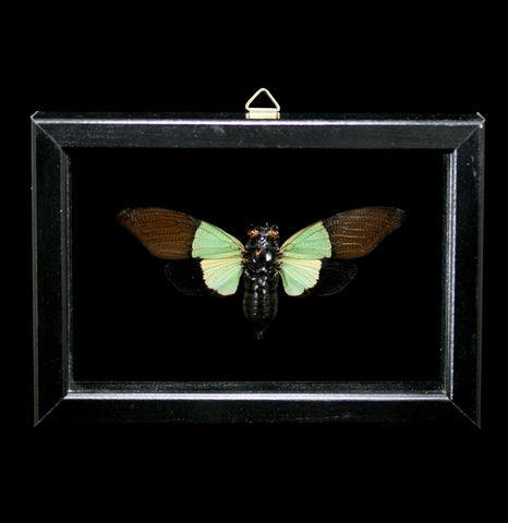 Double Framed Trengganuja Sybylla Cicada-Insects-Al & Judy Scramstad-PaxtonGate